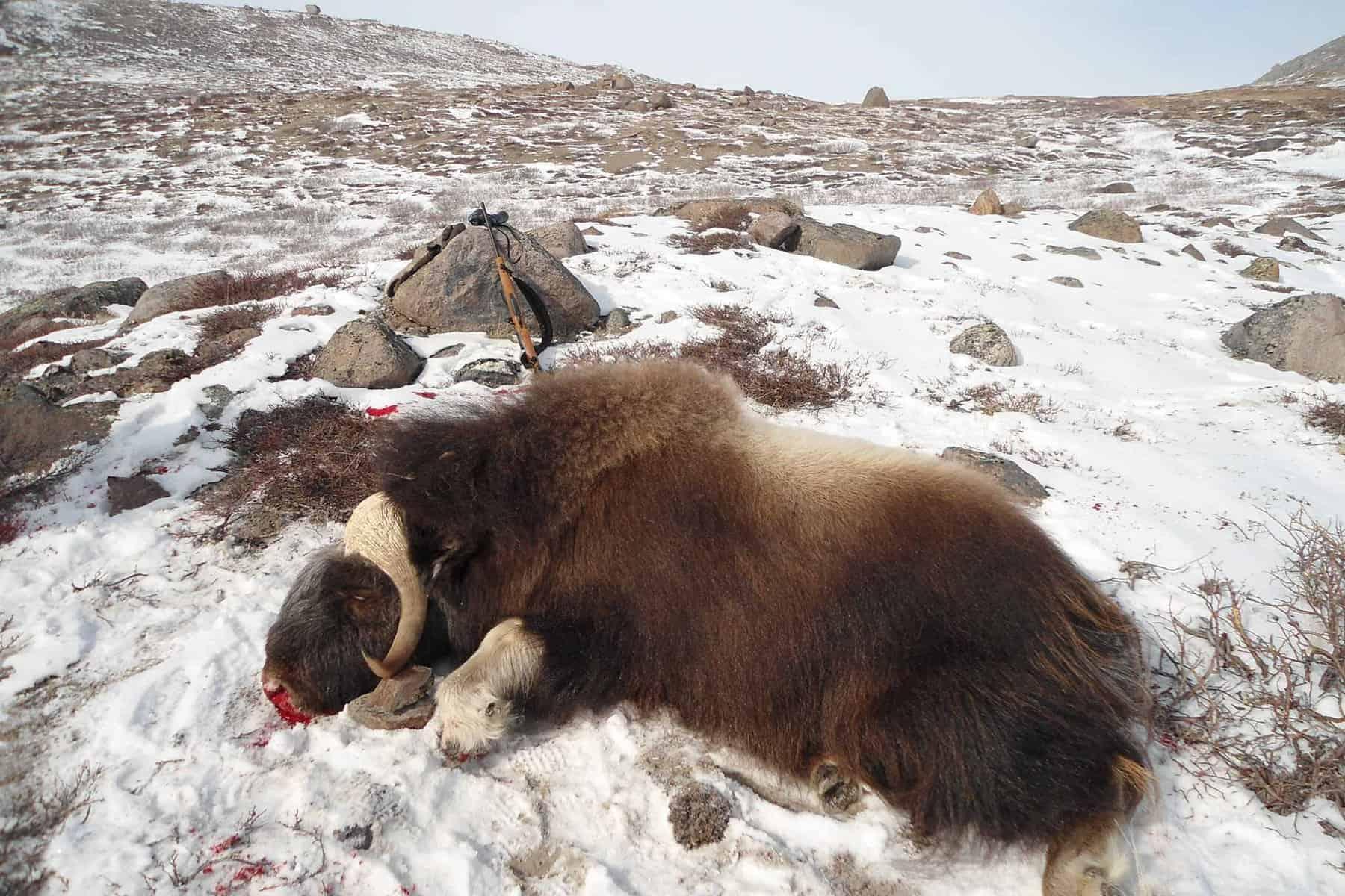 Moschusochse-Wildtier-Jagdreise