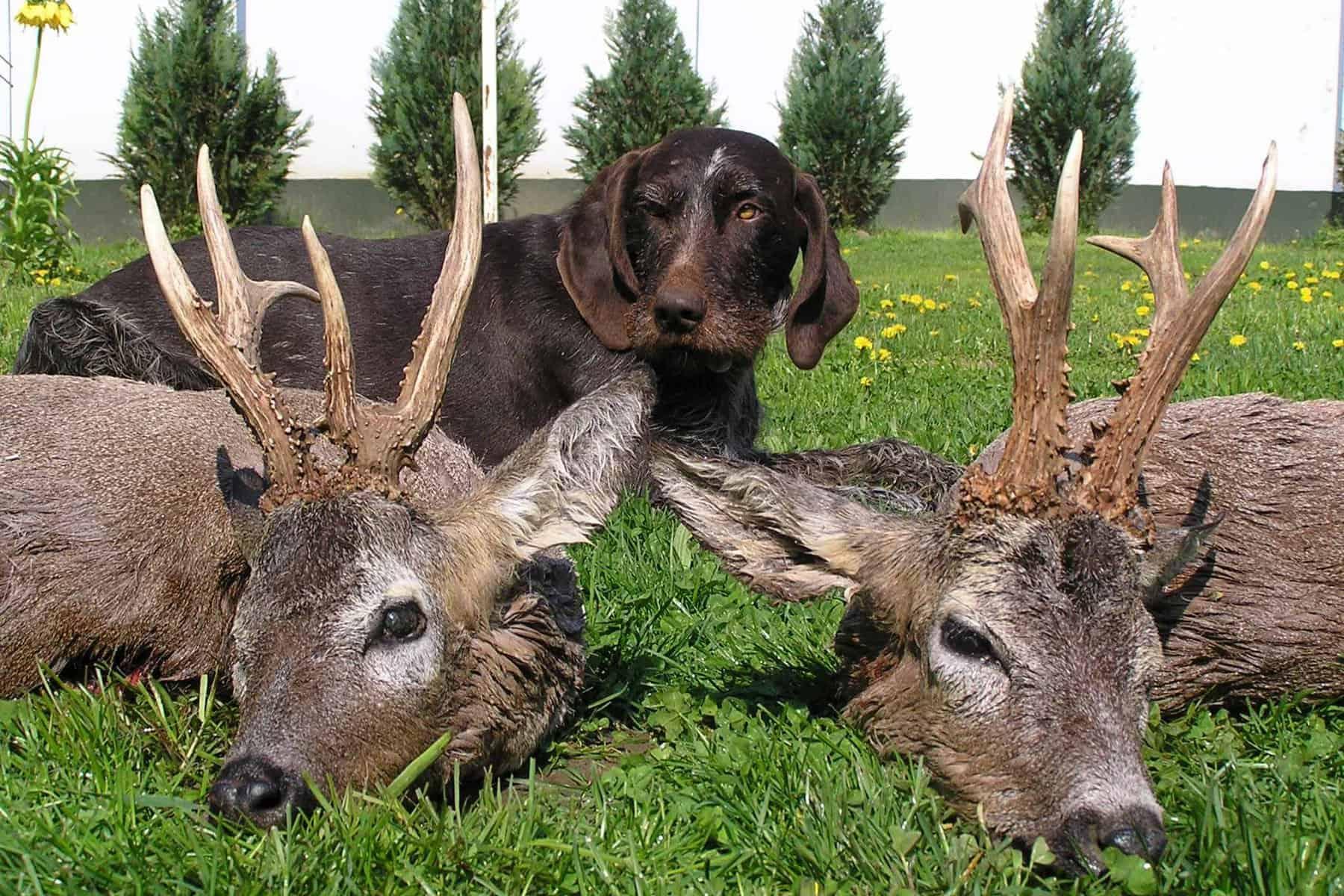 Rehbock-Wildtier-Jagdreise-Profijagdreise