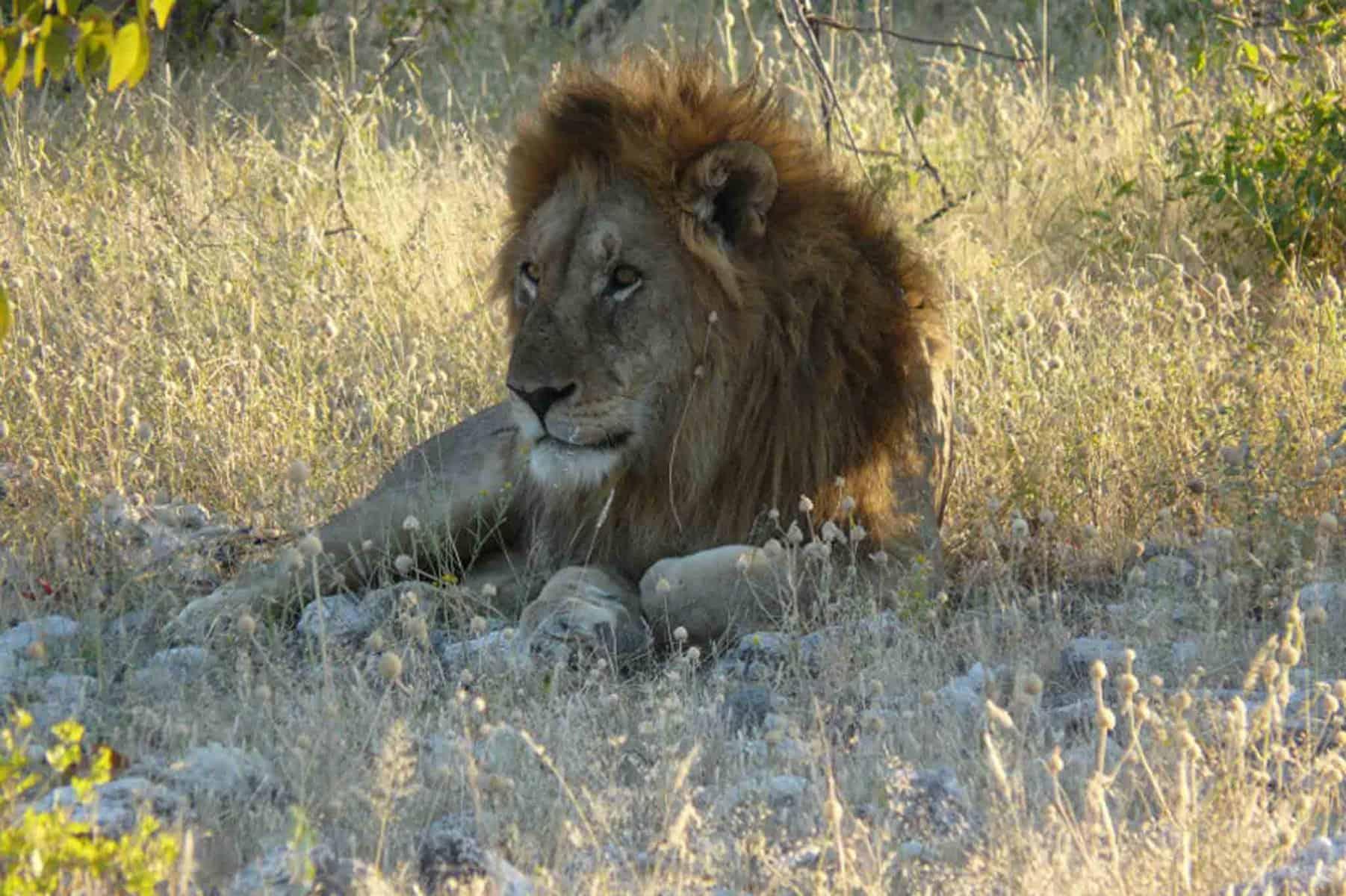 Wildtierjagd-Afrikanische-Großkatzen