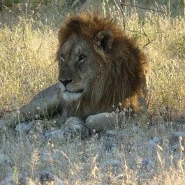 Afrikanische Großkatzen