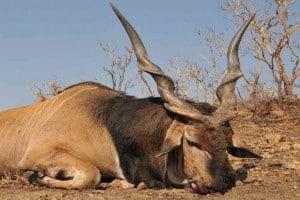 Wildtierjagd-Antilope