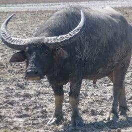Wildtierjagd-Büffel