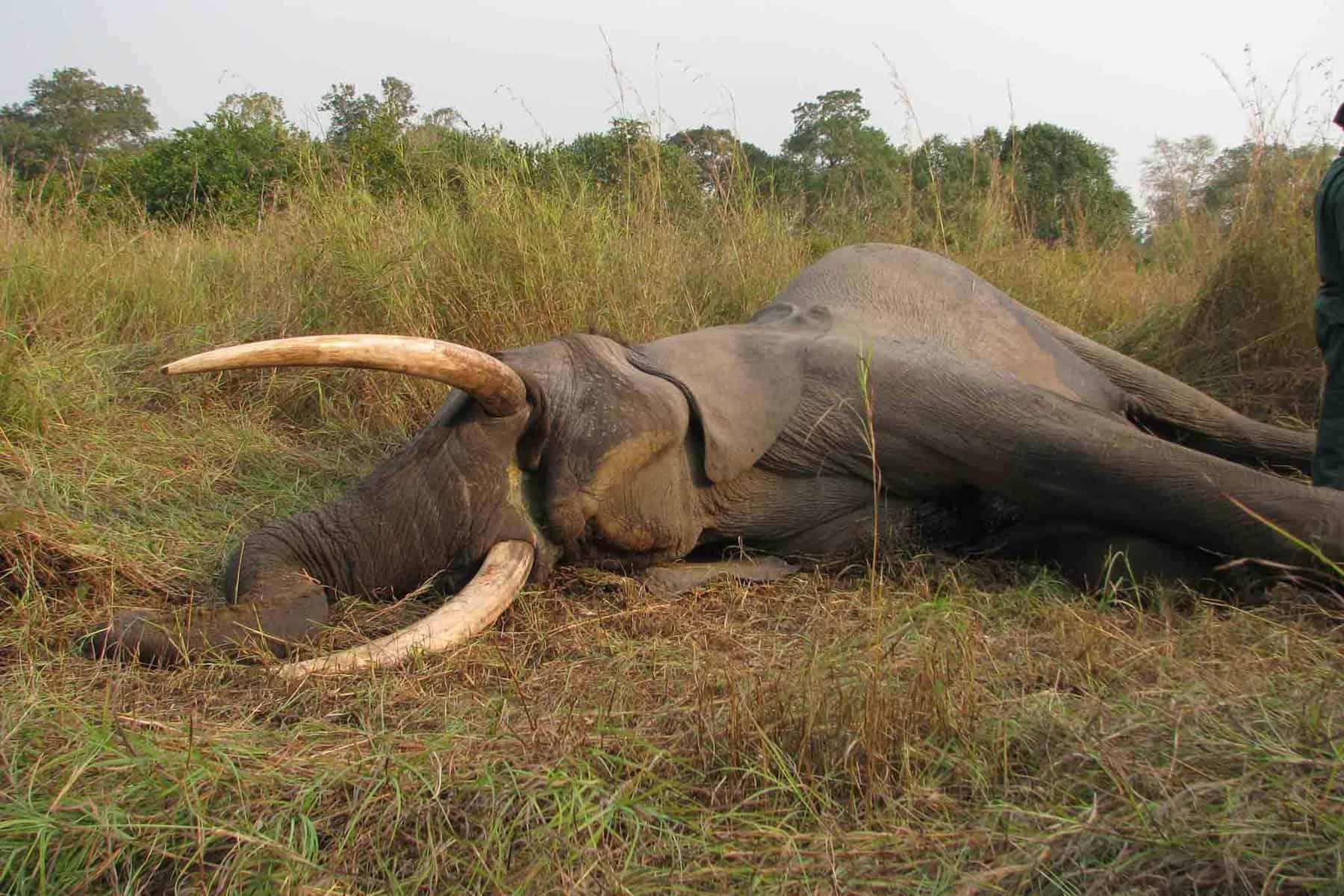 Wildtierjagd-Elefant