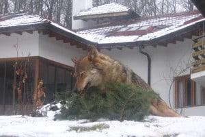 Wolf-Wild-Wildtiere-Jagdreisen
